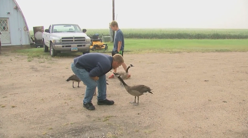 A rural Hillsboro, North Dakota, man and his goose are sure turning heads.