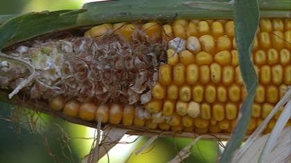 Ear of corn from a farm near Sioux Center, IA.