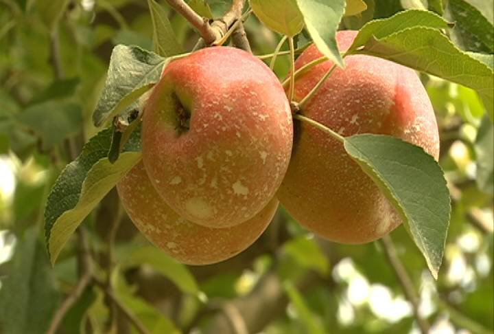 And because of the lack of rain, many apples will be smaller and a little bit more expensive to purchase.