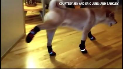 Barkley, a Shibu Inu, got new boots for winter.
