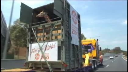 Kitoto the giraffe traveled to her new home at Taronga Zoo in Australia.