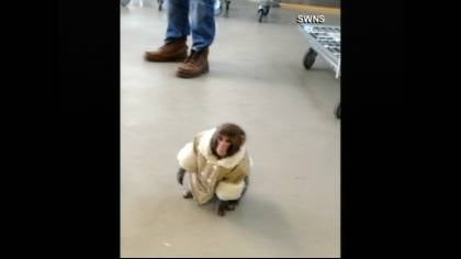 The monkey was well-dressed, wearing what appeared to be a shearling coat and a diaper.