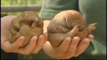 These Echidnas were recently hatched at the Perth Zoo in Australia.