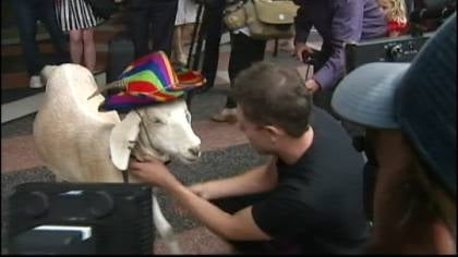 Gary the goat gallops free from an Australian courtroom.