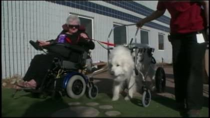  Shenandoah, a Great Pyrenees, gets around with the help of a wheelchair.