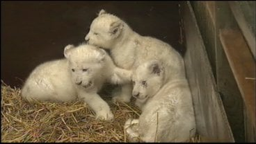 Eight white tiger and lion cubs were examined by a vet and given vaccinations.