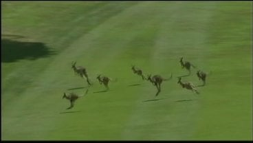 Kangaroos held up the Australian Women's Open Thursday.