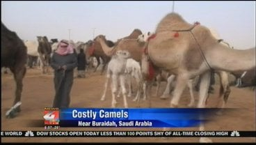 Ibrahim Al-Muhaileb is hosting a camp for other camel breeders in the desert.