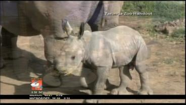 A rare white rhino has been born at a zoo in Australia.