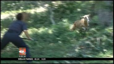 Police and animal services finally catch a pair of goats after chasing them for four miles.