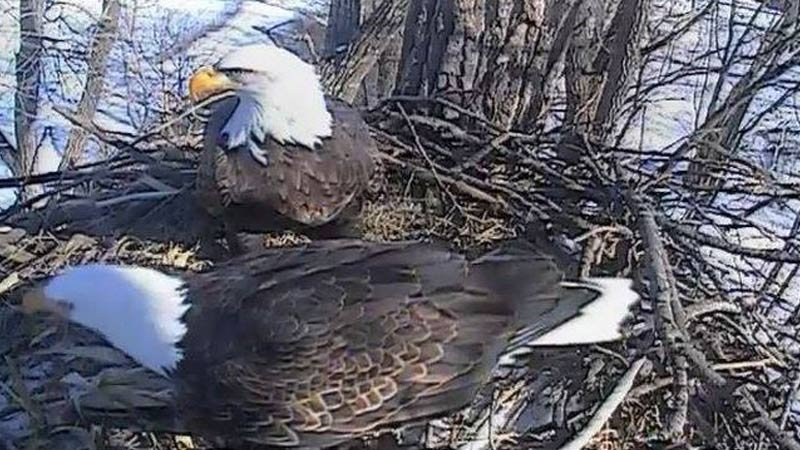 FILE: Photo Courtesy: Decorah, Iowa eagles/Raptor Resource Project
