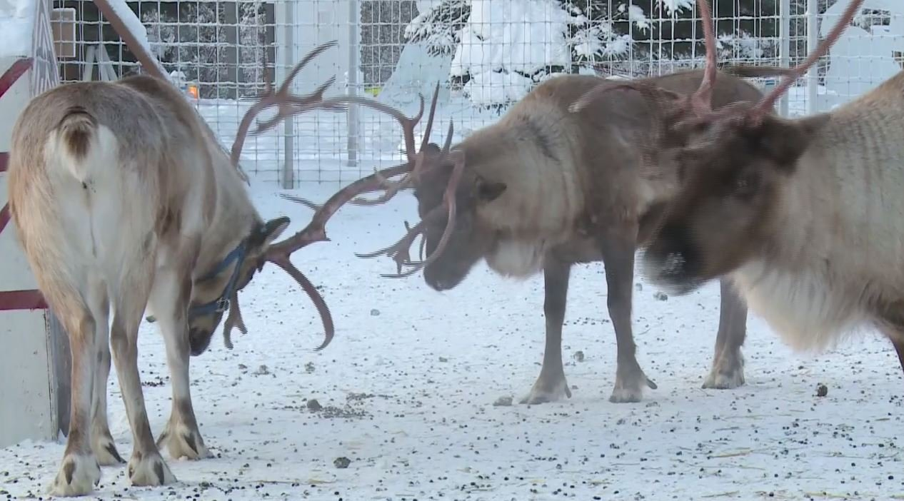 Reindeer gather at their favorite place at the North Pole.