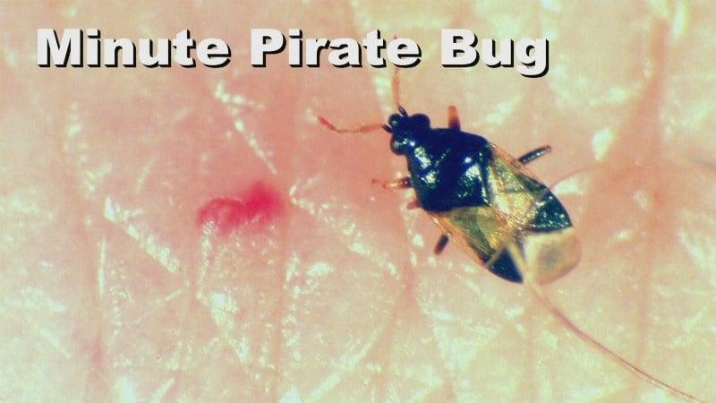 tiny biting bug